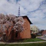 Two Magnolia trees 2021